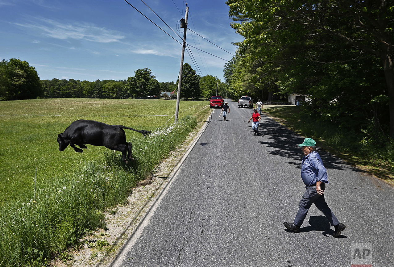 "A bull leaps over an electronic fence as he is driven back into the pasture after escaping onto a road in Turner, Maine, on Sunday, May 29, 2016. Ralph Caldwell, 73, right, sold off his dairy business because of the high price of corn needed to feed his dairy cows. He blames the government for subsidizing ethanol and says corn that could be used to feed people is being used for fuel. ""We think we are so rich and arrogant that we can burn the world's food supply in our automobiles."" Caldwell has lived at the same farm his entire life. ""I do believe in climate change but it isn't our fault. The climate changes all the time. The world isn't coming to an end over climate change."" (AP Photo/Robert F. Bukaty)"