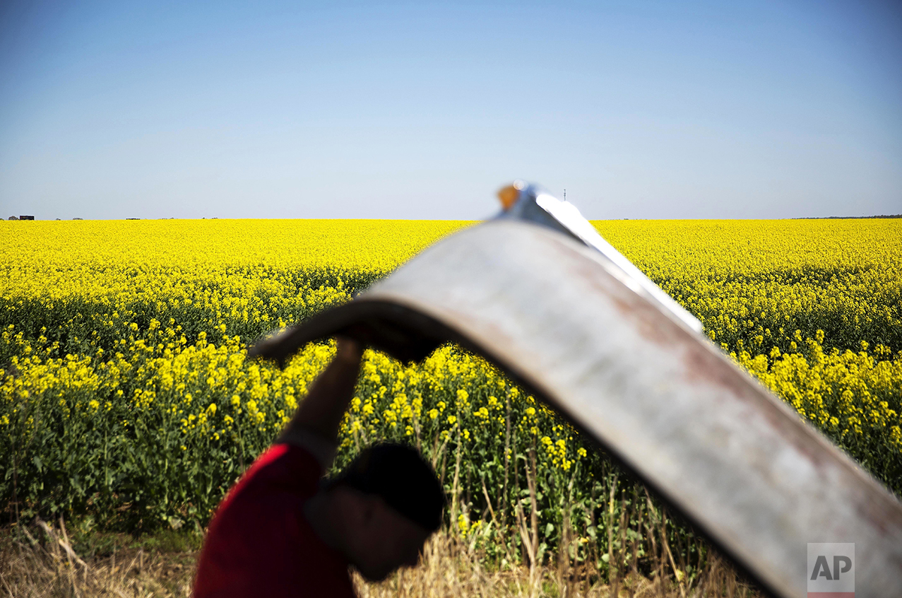 Fields of canola blossoms extend into the horizon as Bob Calvey looks under the hood of a 1949 Pontiac that sits at his salvage yard in Oak Grove, Ky., on April 12, 2016. (AP Photo/David Goldman)
