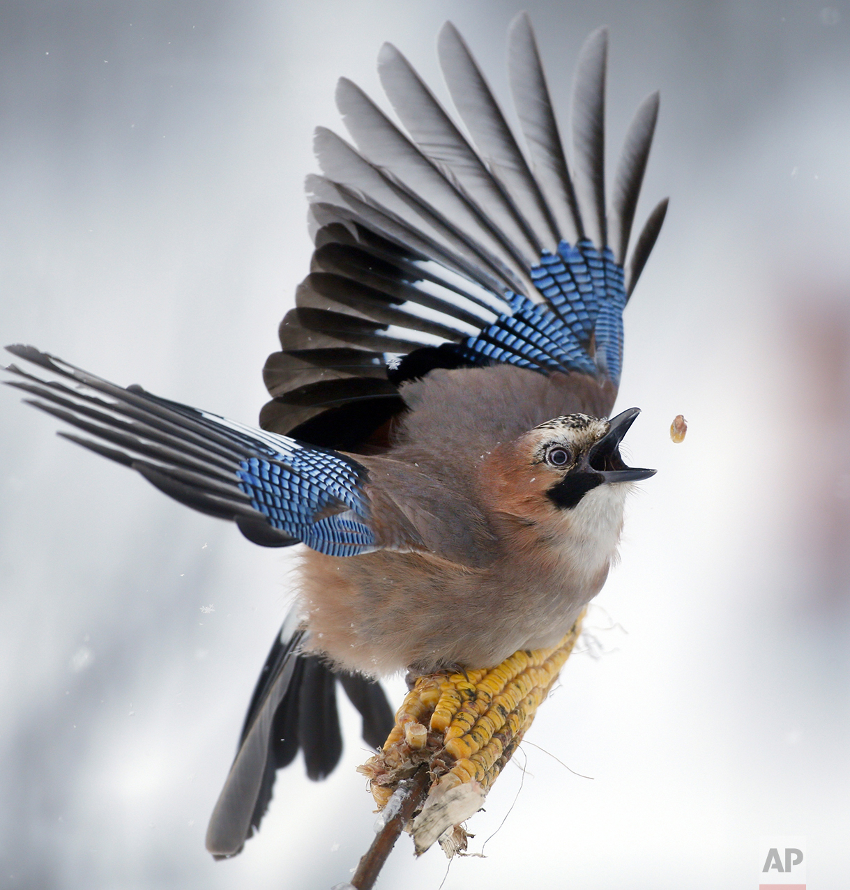A jay picks kernels in the forest on the outskirts of Novogrudok, 150 km (93 miles) west of the capital Minsk, Belarus, on Jan. 17, 2016. (AP Photo/Sergei Grits)