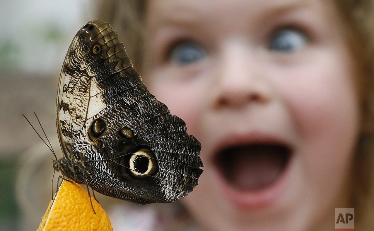 Summer Sharif looks at an Owl butterfly feeding on an orange during a photo call for hundreds of tropical butterflies being released to launch the Natural History Museum's Sensational Butterflies exhibition in London on March 23, 2016. (AP Photo/Kirsty Wigglesworth)