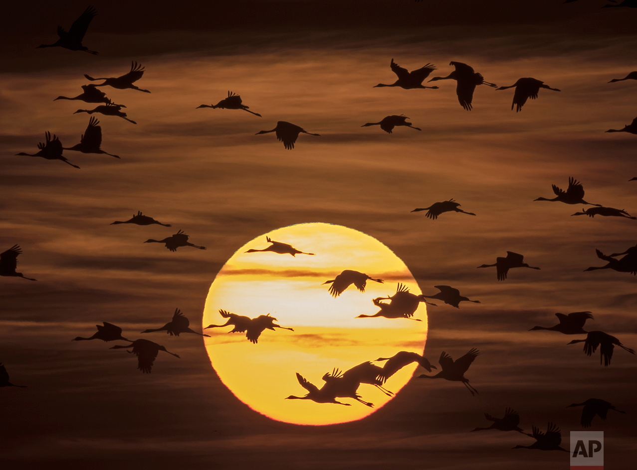 Migrating cranes fly during sunset near Straussfurt, central Germany, on Oct. 31, 2016. The cranes rest in central Germany on their way from breeding places in the north to their wintering grounds in the south. (AP Photo/Jens Meyer)