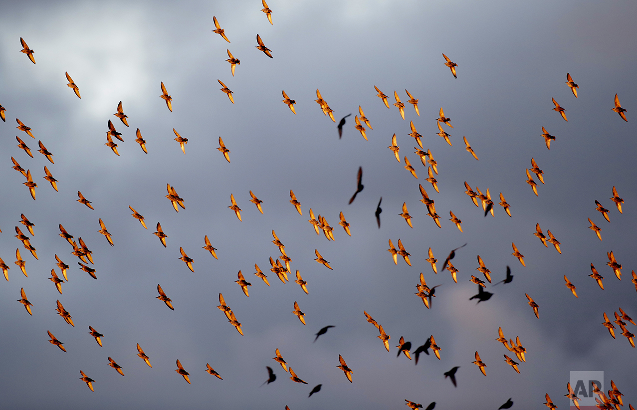 Colored by the setting sun, European starlings mass in the sky in the town of Rakov, about 45 kilometers (28 miles) northwest of Minsk, Belarus, on Oct. 4, 2016. (AP Photo/Sergei Grits)