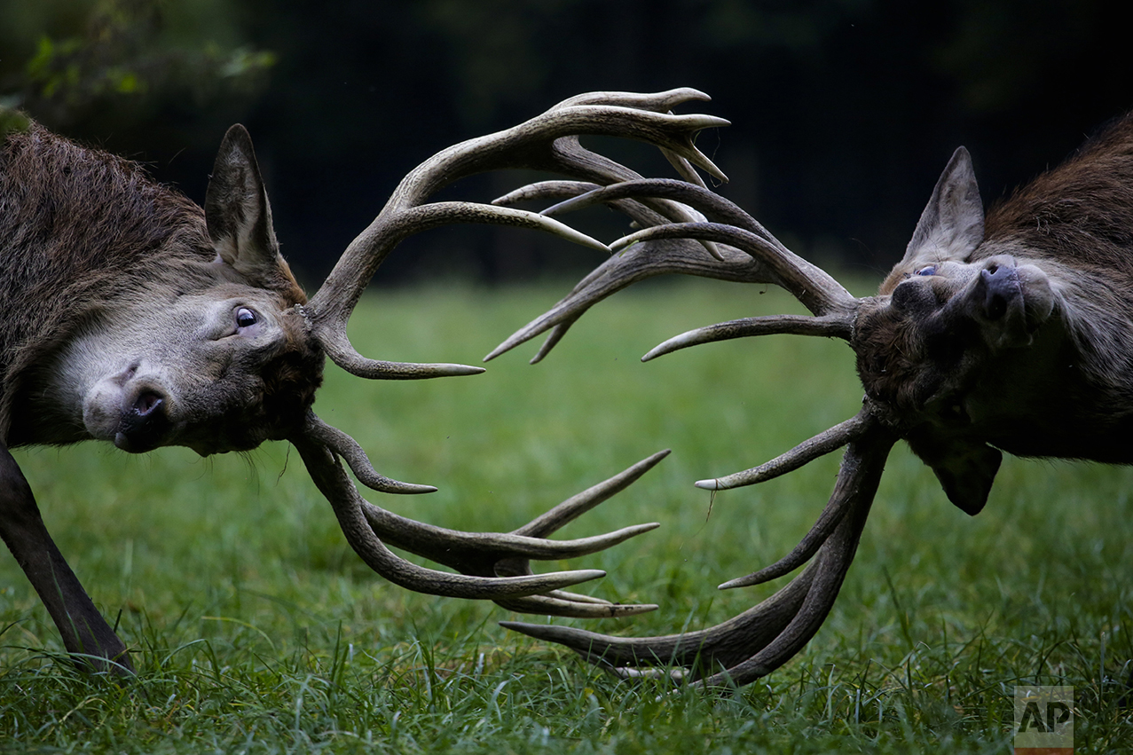 Red deer fight during the rutting season at a wildlife park on a fall day in Bonn, western Germany, on Oct. 27, 2016. (AP Photo/Markus Schreiber)
