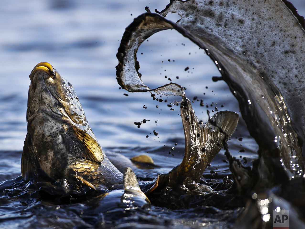 A fish splashes as it is caught by fish farm workers at a drained pond outside the village of Shkolny, 60 km (38 miles) west of Minsk, Belarus, on Oct. 18, 2016. The farm supplies their produce, mainly carp, to local stores. (AP Photo/Sergei Grits)