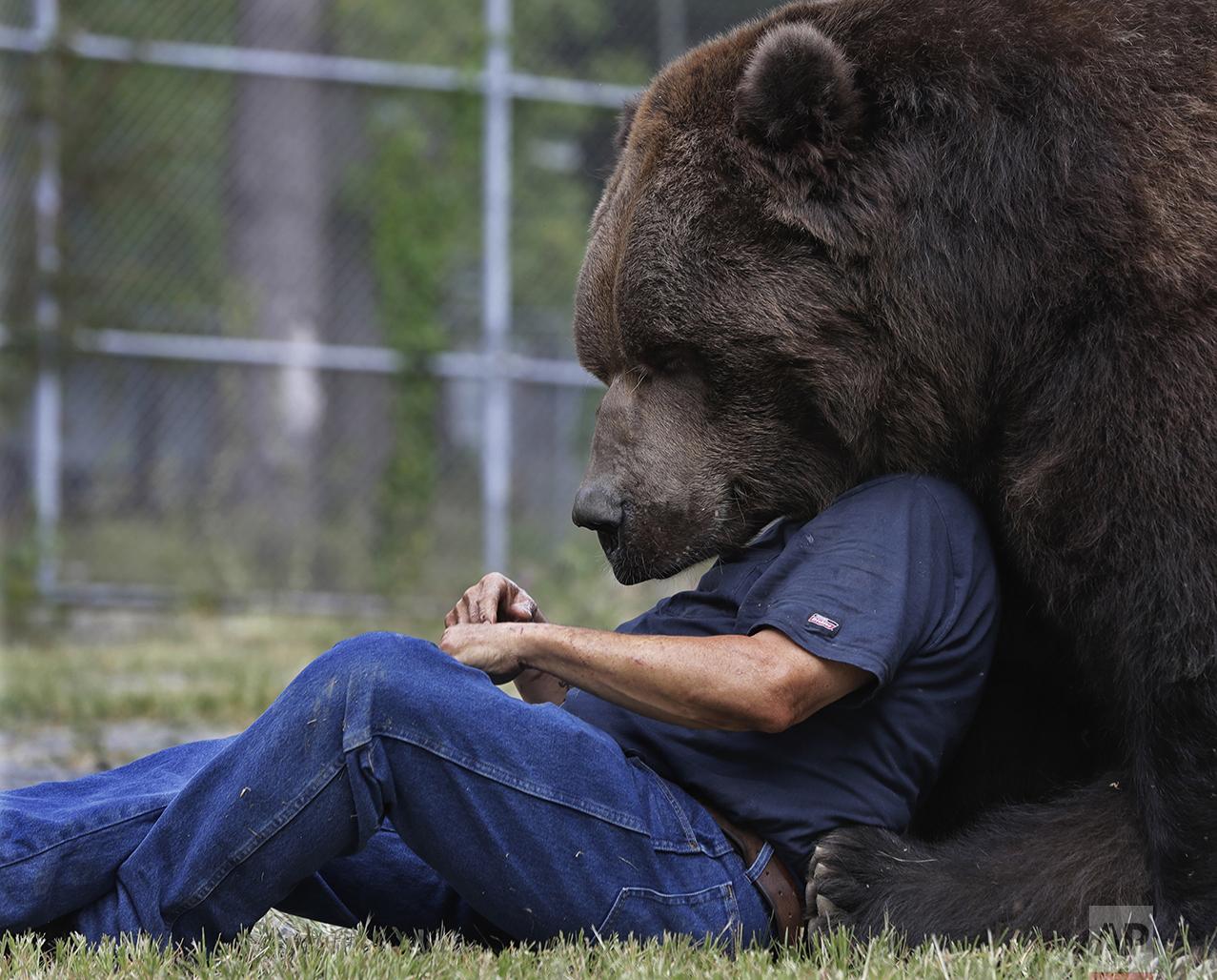 Jim Kowalczik plays with Jimbo, a 1500-pound Kodiak bear, at the Orphaned Wildlife Center in Otisville, N.Y., on Sept. 7, 2016. (AP Photo/Mike Groll)