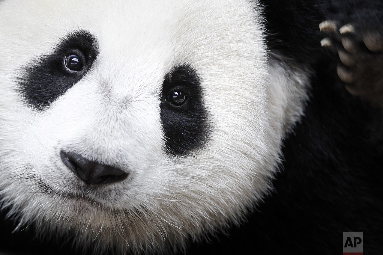 A giant panda named Nuan Nuan is shown at the Giant Panda Conservation Center at the National Zoo in Kuala Lumpur, Malaysia, on Aug. 23, 2016. The giant panda has been reclassified as vulnerable from endangered on the International Union for the Conservation of Nature's list of endangered species, which was released on Sept. 4, 2016 at the World Conservation Congress in Hawaii. (AP Photo/Joshua Paul)