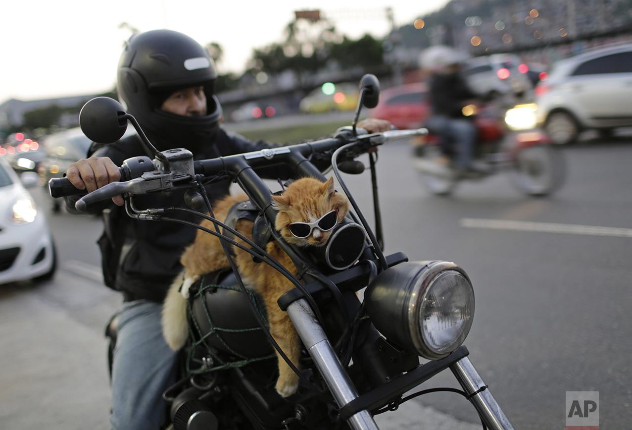 A motorcycle rider carries his cat, Chiquinho, on his bike, near Maracana stadium in Rio de Janeiro, Brazil, on June 19, 2016. (AP Photo/Silvia Izquierdo)