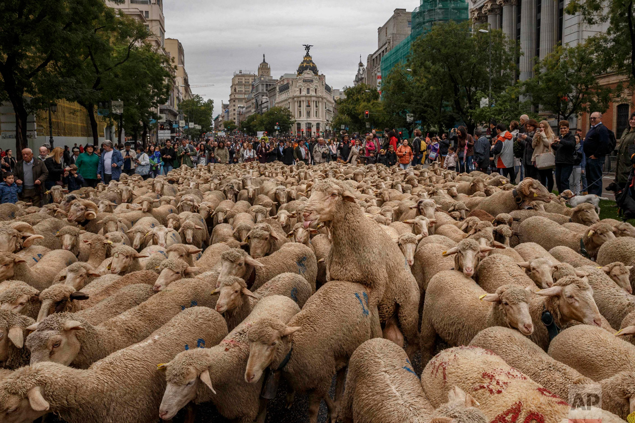 In this Sunday, Oct. 23, 2016 photo, shepherds lead their sheep through the centre of Madrid, Spain. Shepherds have guided a flock of 1,000 sheep through Madrid streets in defense of ancient grazing, droving and migration rights increasingly threatened by urban sprawl and modern agricultural practices. (AP Photo/Daniel Ochoa de Olza)