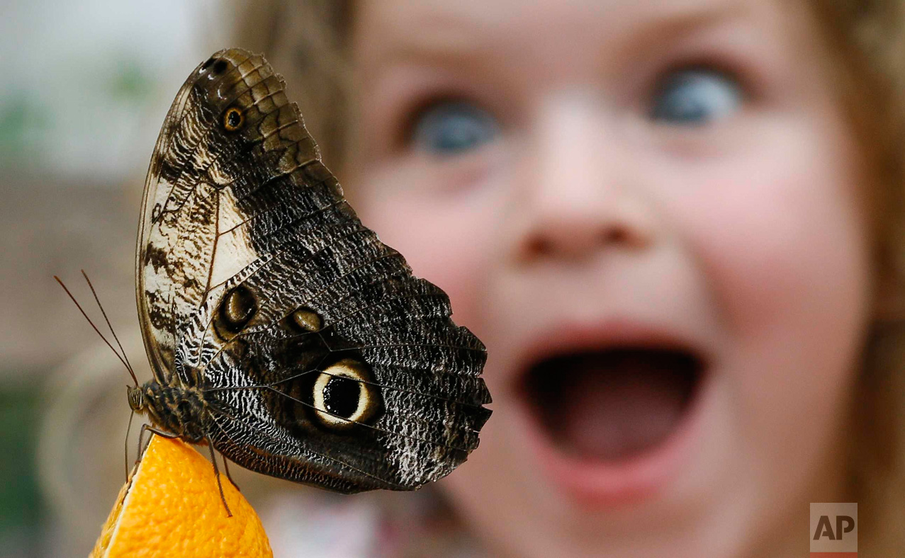 In this March 23, 2016 photo, Summer Sharif looks at an Owl butterfly feeding on an orange during a photo call for hundreds of tropical butterflies being released to launch the Natural History Museum's Sensational Butterflies exhibition in London. (AP Photo/Kirsty Wigglesworth)
