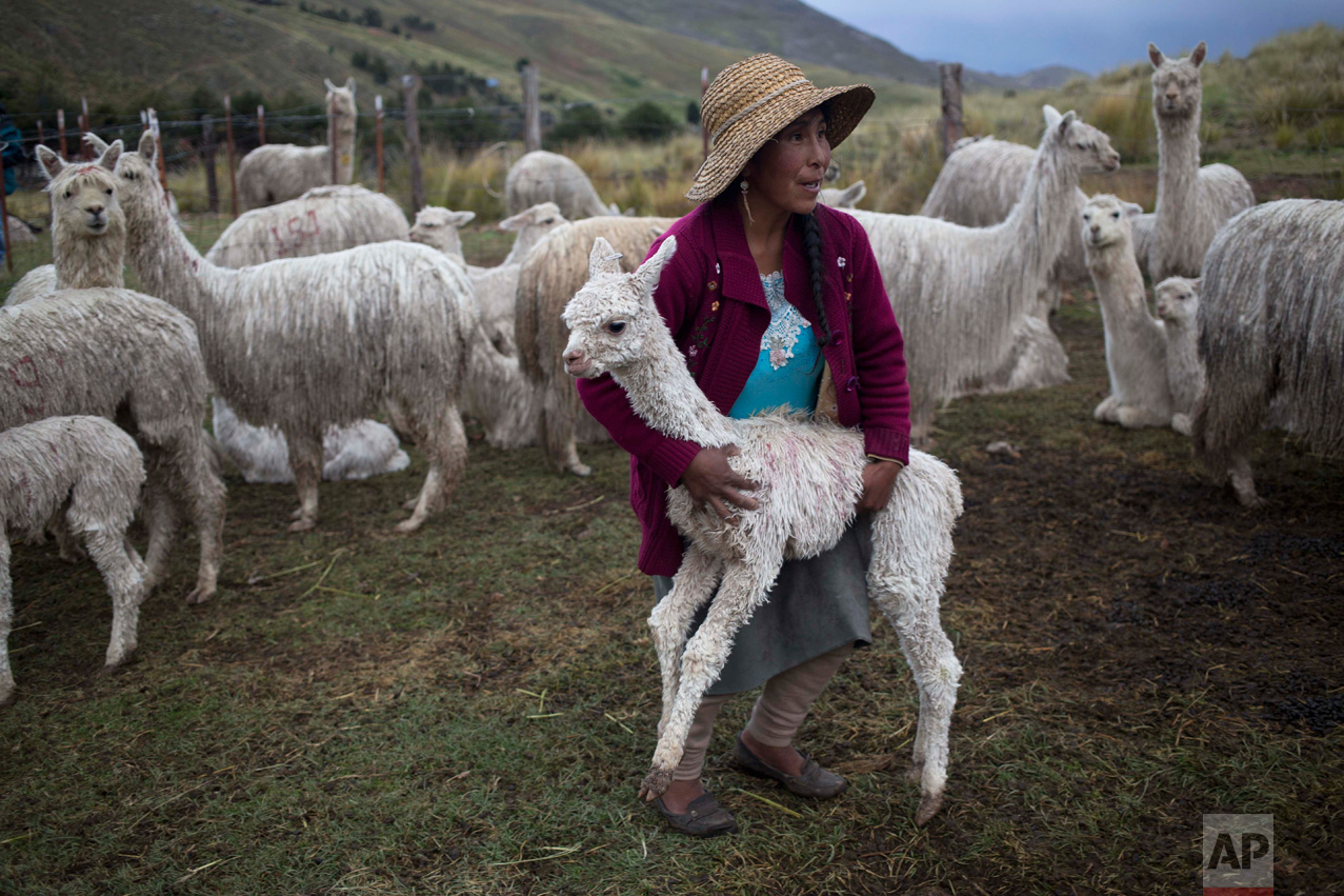 In this March 8, 2016 photo, an Andean shepherd carries a young alpaca back to the herd after it strayed away within the Mallkini Hacienda alpaca farm, which breeds alpacas for their fiber, in the highlands of the Puno department of Peru. The 4 million alpacas that graze on the remote slopes of Peru's southeastern Andes wear warm coats of a silky fiber highly sought in the United States, Europe and Asia. (AP Photo/Martin Mejia)