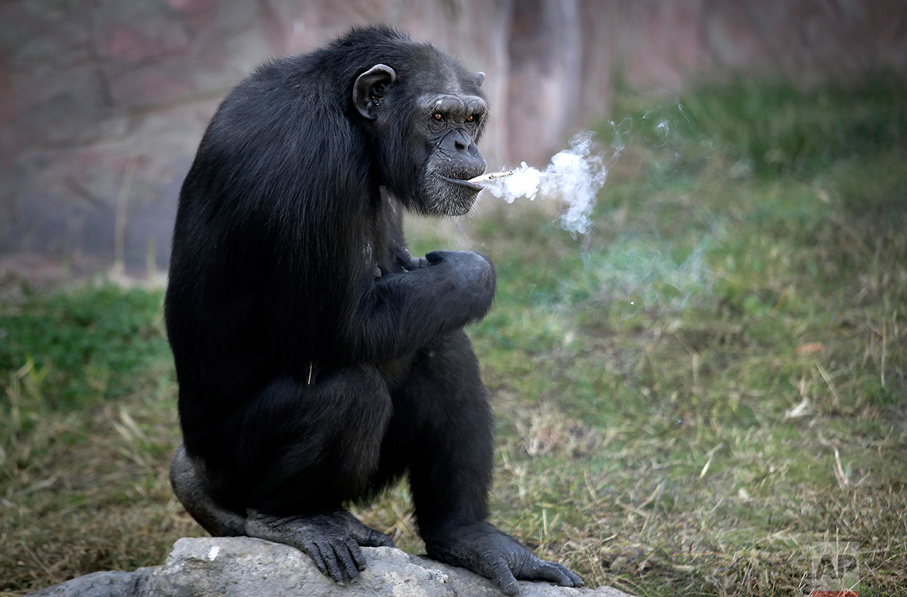 "Azalea, a 19-year-old female chimpanzee whose Korean name is ""Dallae,"" smokes a cigarette at the Central Zoo in Pyongyang, North Korea Wednesday, Oct. 19, 2016.  (AP Photo/Wong Maye-E)"