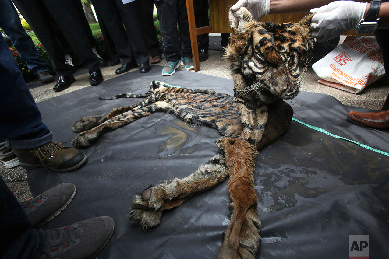 An Indonesian police officer shows the skin of a Sumatran tiger recently confiscated from poachers during a press conference at the local police headquarters in Deli Serdang, North Sumatra, Indonesia, Monday, Oct. 17, 2016. There are estimated to be fewer than 350 Sumatran tigers left in the wild, compared to about 1,000 in the 1970s, raising fears that it may become extinct in the next decade due to poaching and habitat loss. (AP Photo/Binsar Bakkara)