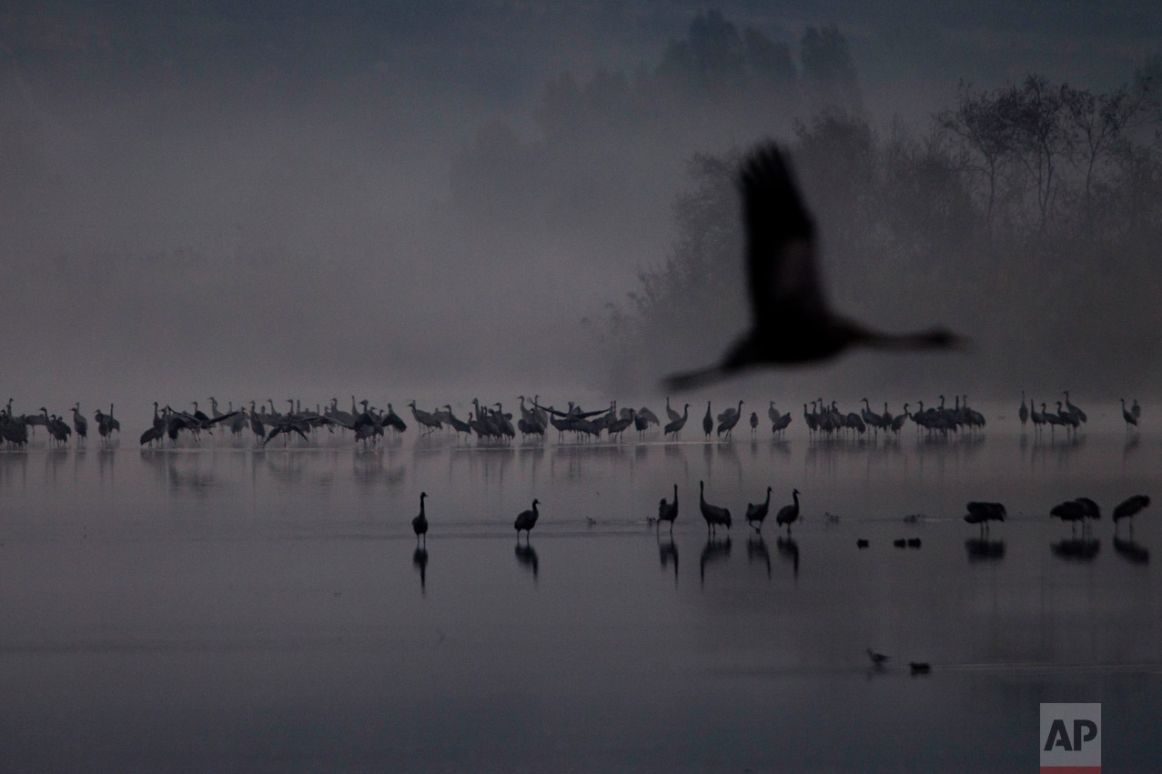 Migrating Cranes flock to the Hula Lake conservation area, north of the Sea of Galilee, northern Israel, Wednesday, Dec. 7, 2016. About 42,500 cranes are in Hula Lake conservation area. More than half a billion birds of some 400 different species pass through the Jordan Valley to Africa and go back to Europe during the year. (AP Photo/Ariel Schalit)