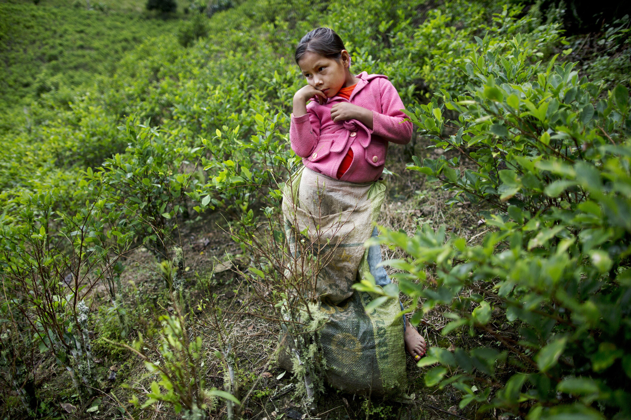 In this March 16, 2015 photo, Janet Curo, 9, takes a break from harvesting coca leaves with her mother, in La Mar, province of Ayacucho, Peru. Janet skipped school to help her mother in the coca fields. Sixty percent of Peru's cocaine is grown in the remote Apurimac, Ene and Mantaro river valley that includes the Ayacucho province. (AP Photo/Rodrigo Abd)