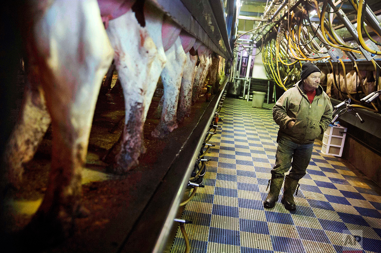 """Bernard Moravits inspects cows being milked at his farm in Bloomington, Wis., Thursday, Jan. 19, 2017. Moravits does have several choice words for President Donald Trump's move to build """"his stupid wall"""" and deport Hispanic laborers. He thinks it's demeaning to hard-working people. He has Hispanic workers who have been with him 15 years. He built them apartments. He trusts them to do a dirty, difficult job that he said white people aren't willing to do anymore. """"A lot of people don't treat them like people,"""" he grumbled. (AP Photo/David Goldman)"""