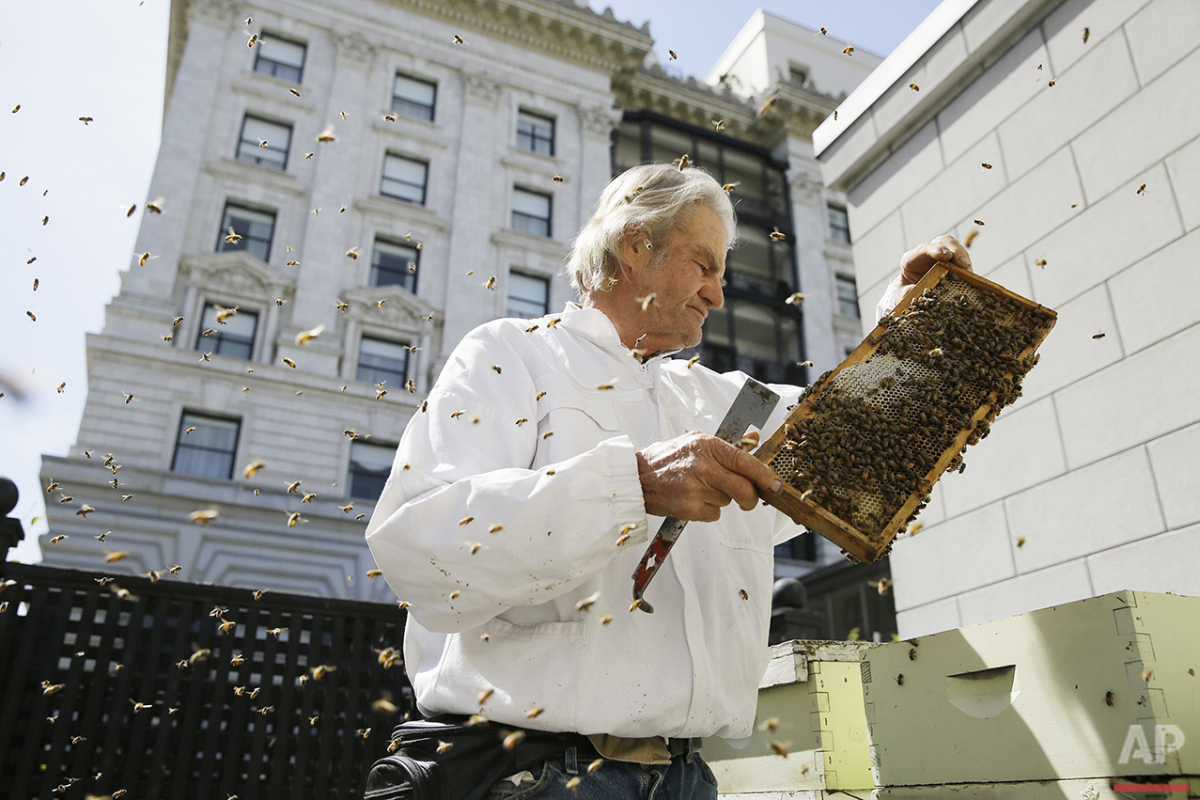 In this photo taken Monday, April 18, 2016, beekeeper Spencer Marshall checks a number of hives on a garden deck outside the Fairmont Hotel in San Francisco. At least seven San Francisco hotels have built rooftop beehives that produce honey for food, cocktails and spa products. Convention and tourist hotels from Union Square to Fisherman's Wharf say they're doing their small part to combat worldwide honeybee colony collapse. (AP Photo/Eric Risberg)