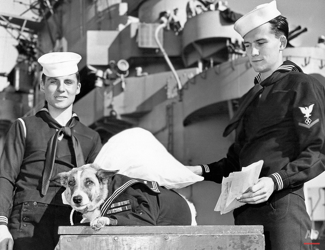 Veteran of 11 battles and once wounded in action, Sangie, a broad-chested mongrel, looks unhappy as she faces formal retirement with full honors from the Navy at San Diego, Aug. 13, 1947. The dog is being detached in response to appeals from her former master, Landy E. Black, Jr., of Denver. An escort of five blue jackets, including Seaman 1/C James F. O'Brian, left, of Everett, Mass., and Specialist 3/c Donald Harrison, right, of Meridian, Idaho, will deliver Sangie to Denver by station wagon. (AP Photo)
