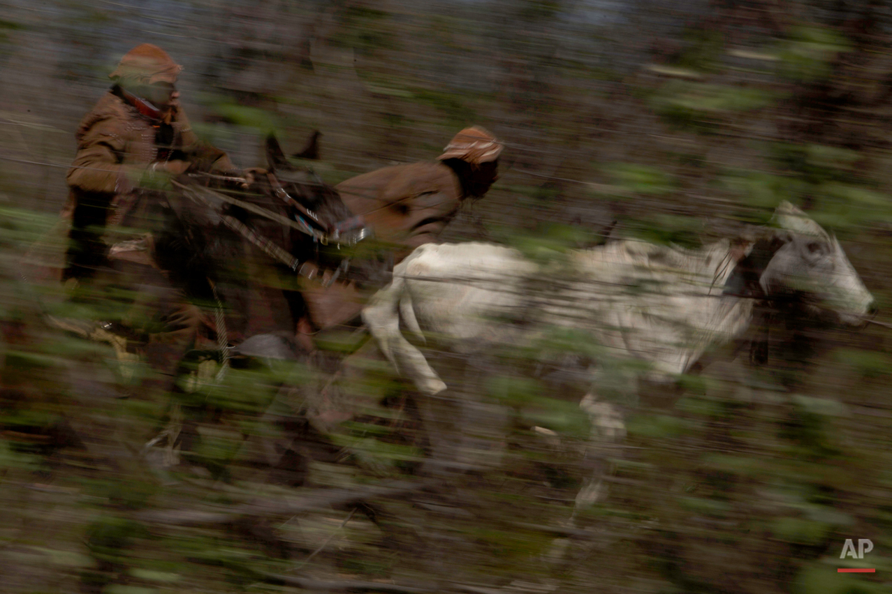 """In this July 24, 2015 photo, a team of two cowboys chase a bull through the brush as they compete in the annual Catch the Bull event known as """"Pega do Boi"""" in Serrita, in Brazil's Pernambuco state. The exercise of removing a leather necklace from the animal's neck and returning it to judges as fast as they can is repeated with other bulls and teams, each timed to determine which ìvaqueirosî are the fastest. (AP Photo/Eraldo Peres)"""