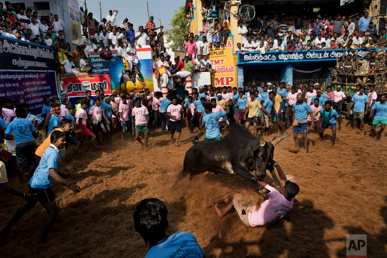 In this Feb. 10, 2017 photo, a bull faces a crowd during a traditional bull-taming festival called Jallikattu, in the village of Allanganallur, near Madurai, Tamil Nadu state, India. For animal rights activists, who petitioned Indian courts to have it banned, Jallikattu is incredibly cruel to the bulls. The say the animals have chili powder rubbed into their eyes and have their tails broken as tamers try and ride them. The locals say the claims of animal cruelty are exaggerated and the bulls that run in the Jallikattu ritual actually have a better life than the bulls that spend their lives working on the land. (AP Photo/Bernat Armangue)