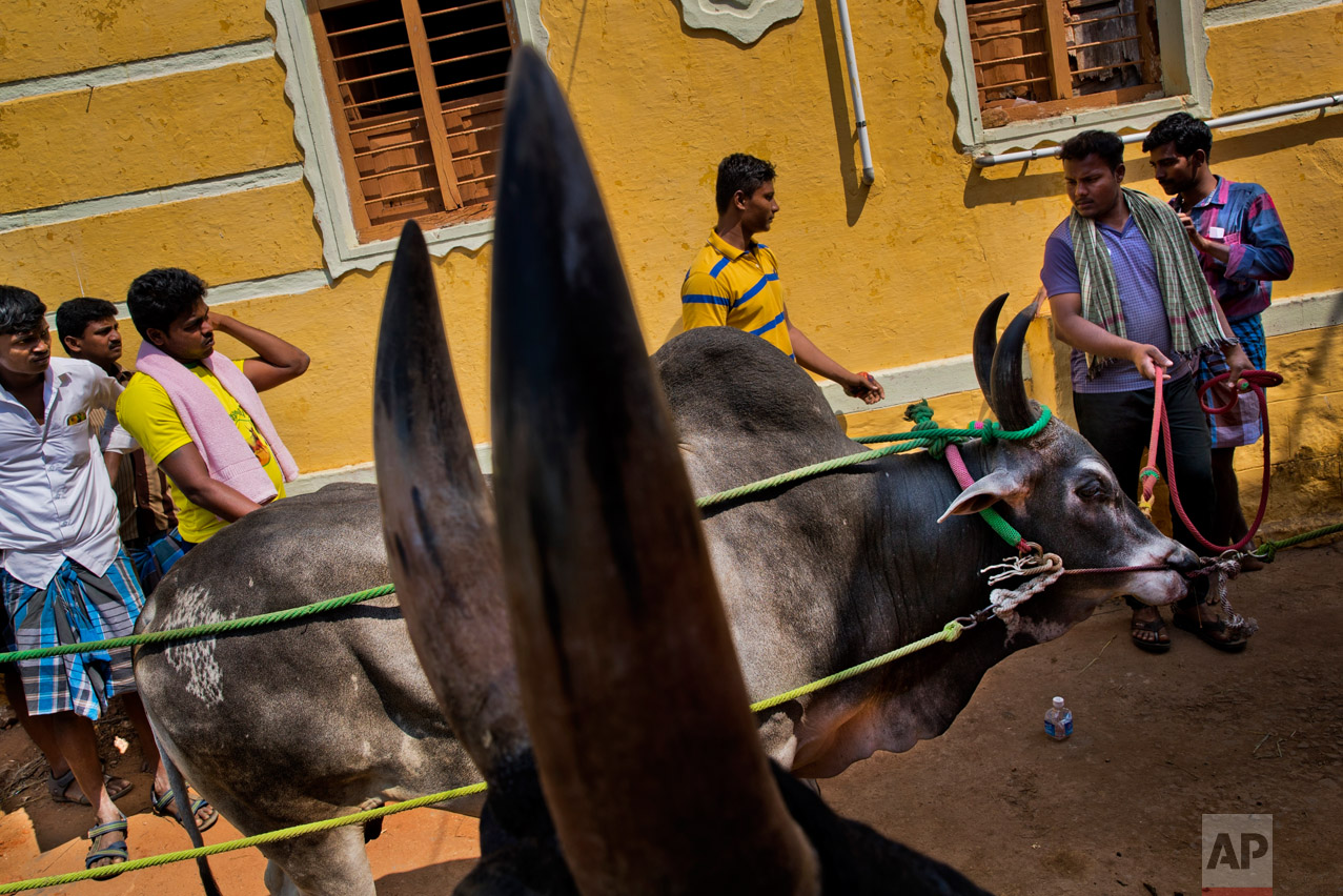 In this Feb. 10, 2017 photo, bulls wait for a vet inspection during the traditional bull-taming festival in the village of Allanganallur, near Madurai, Tamil Nadu state, India. For two years Jallikattu, a bull-taming tradition had been banned in Tamil Nadu on orders of India's Supreme Court. The tradition, the court said, inflicted cruelty upon the animals. This year, Jallikattu returned to Tamil Nadu late January after protesters forced the government to rush new legislation exempting it from animal cruelty laws. And so the revelry returned to Alanganallur village in Madurai district, one of the main areas where the tradition plays out. (AP Photo/Bernat Armangue)