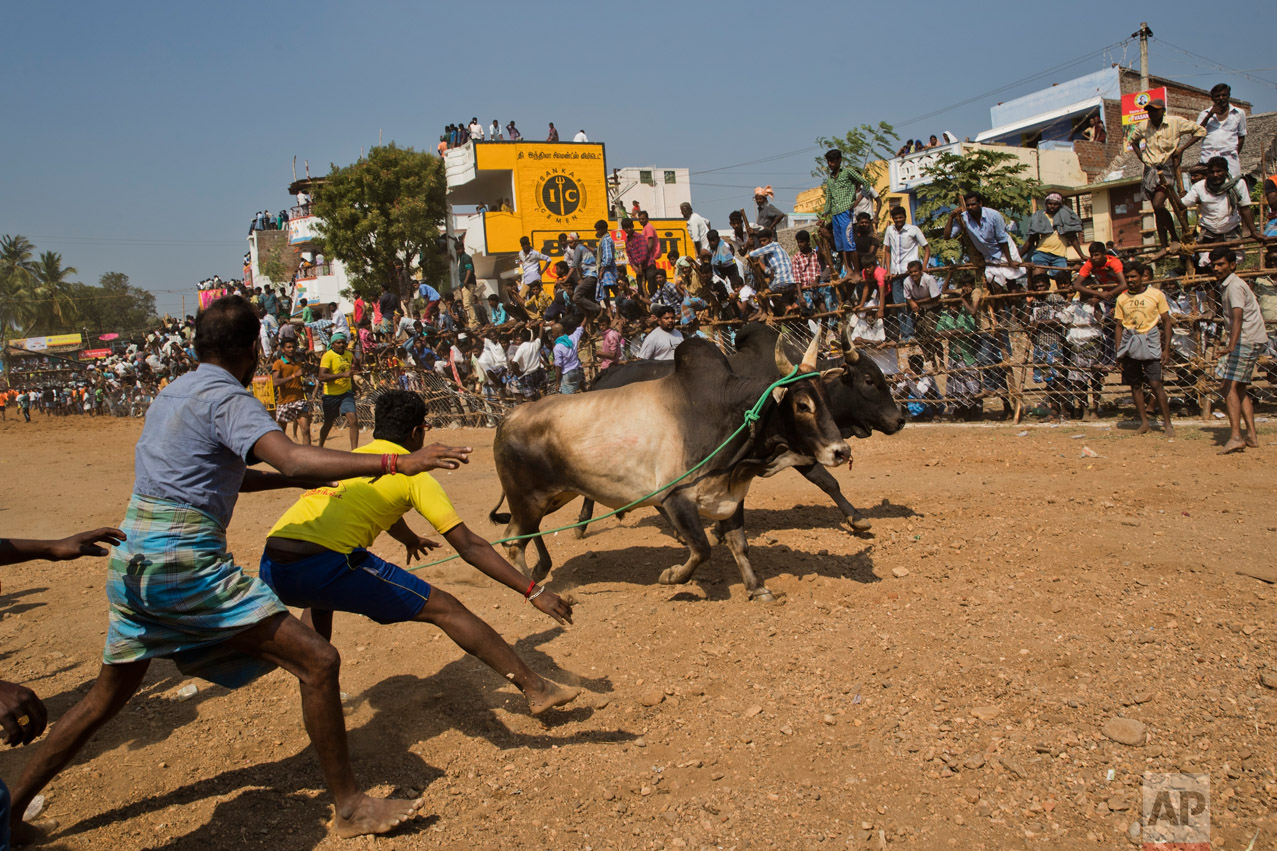 In this Feb. 9, 2017 photo, bulls run through the arena during a traditional bull-taming festival called Jallikattu, in the village of Palademu, near Madurai, Tamil Nadu state, India. For two years Jallikattu, a bull-taming tradition had been banned in Tamil Nadu on orders of India's Supreme Court. (AP Photo/Bernat Armangue)