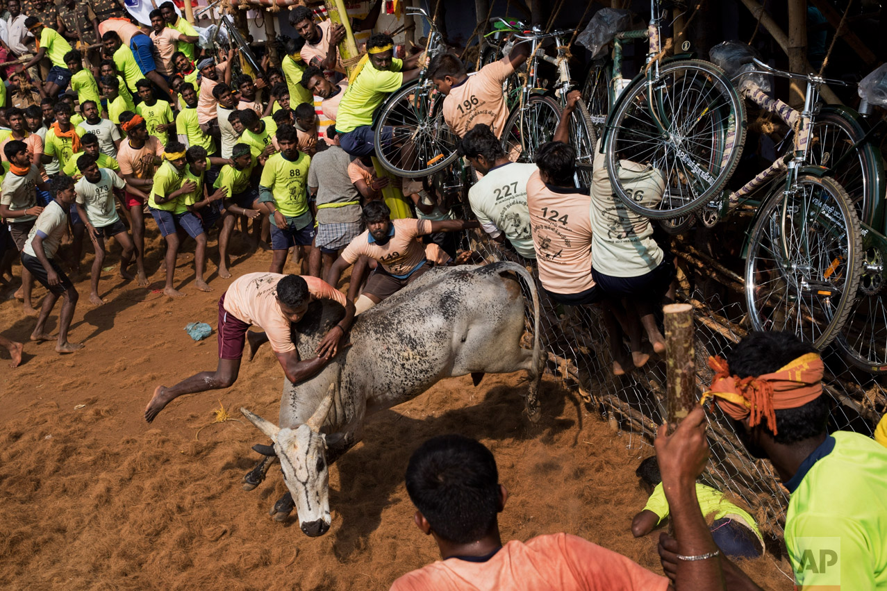 In this Feb. 9, 2017 photo, tamers try to control a bull during a traditional bull-taming festival called Jallikattu, in the village of Palademu, near Madurai, Tamil Nadu state, India. (AP Photo/Bernat Armangue)