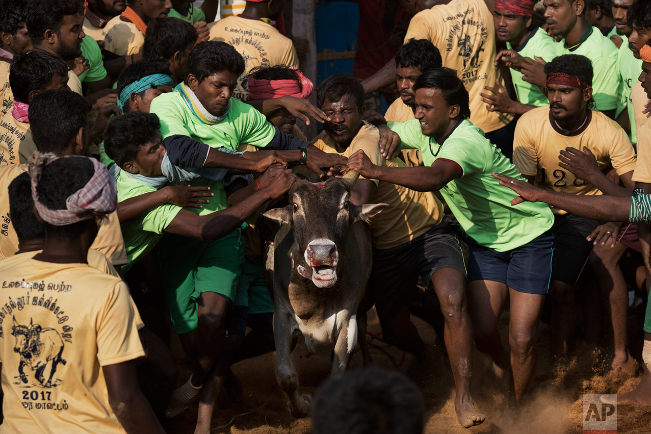 In this Feb. 10, 2017 photo, tamers try to control a bull as it runs during a traditional bull-taming festival called Jallikattu, in the village of Allanganallur, near Madurai, Tamil Nadu state, India. If the tamers can control the animal they win. If a bull can't be tamed, the prize, everything from pots and pans to flat-screen TVs and even small cars, goes to its owner. (AP Photo/Bernat Armangue)