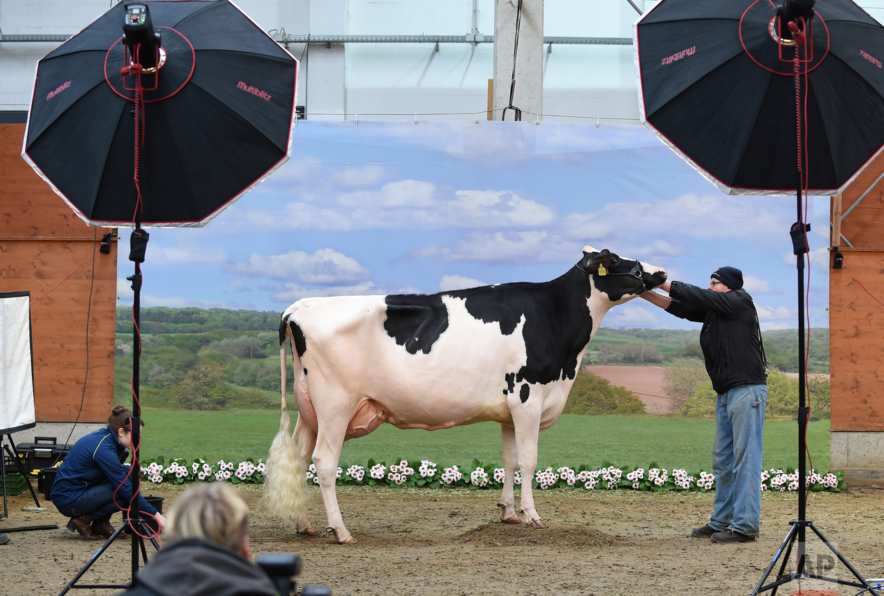 "A cow is prepared for a photograph in front a pastoral backdrop in Verden, Germany, on Thursday, Feb. 23, 2017. The most beautiful milk cows from Lower Saxony and Saxony will be selected at the 44th ""Show of the Best."" Around 200 animals are competing in 18 categories. (Carmen Jaspersen/dpa via AP)"