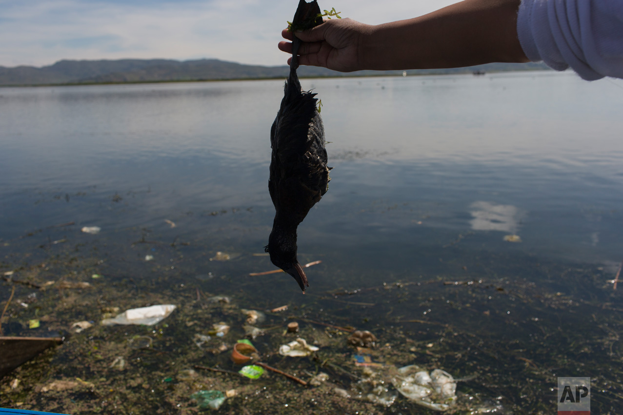 """In this Feb. 4, 2017 photo, environmental activist Maruja Inquilla holds a dead bird called a """"Choca,"""" on the shore of Lake Titicaca, in Coata, in the Puno region of Peru. Untreated sewage water drains from two dozen nearby cities, and illegal gold mines high in the Andes dump up to 15 tons of mercury a year into a river leading to the lake. (AP Photo/Rodrigo Abd)"""