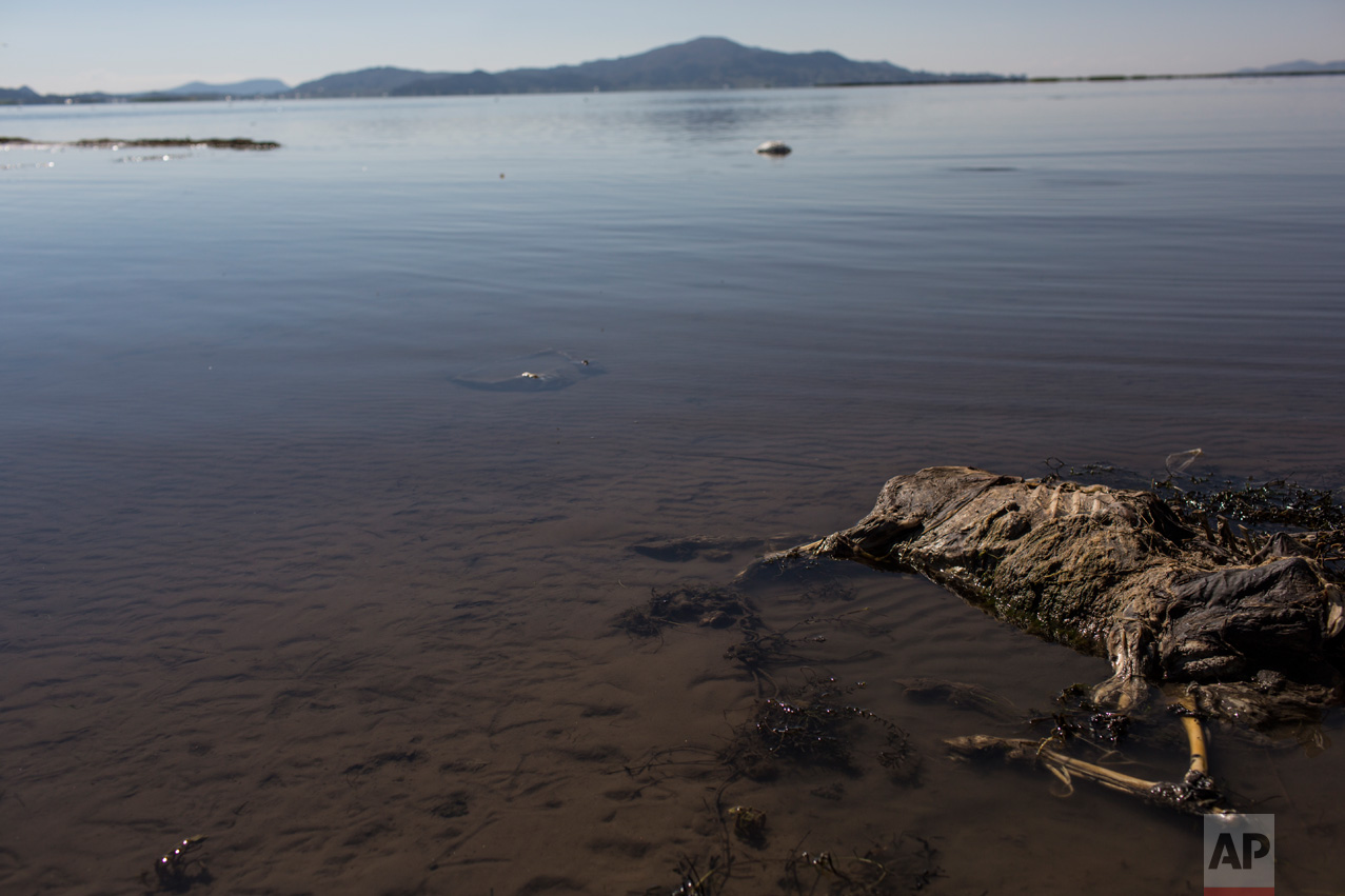 In this Feb.3, 2017 photo, a sheep's carcass lays on the shore of Lake Titicaca, Peru. According to environmental activists, villagers' cattle and crops are dying due to contamination. (AP Photo/Rodrigo Abd)