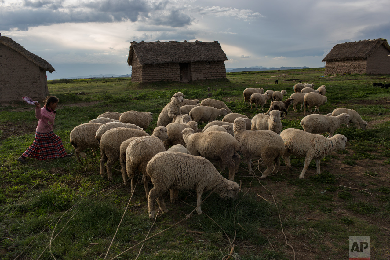 In this Feb. 3, 2017 photo, Maria Avila moves her flock of sheep in Coata, a small village on the shores of Lake Titicaca in the Puno region of Peru. Avila, the mother of a 4-year-old living in an adobe house, says she cannot bathe or drink the lake's water without getting severe diarrhea or red spots on her skin. (AP Photo/Rodrigo Abd)