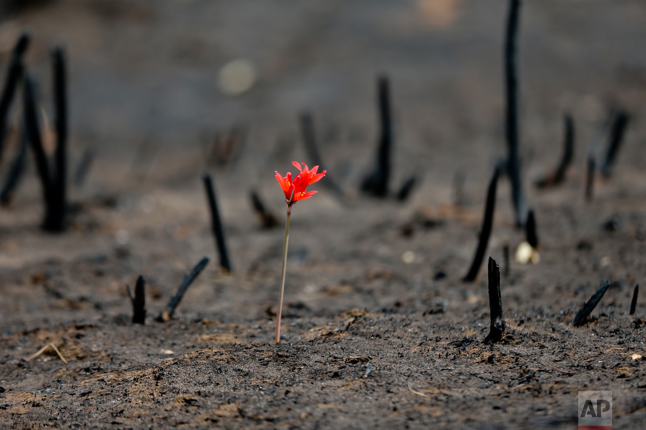 A flower shoots through a landscape razed by wildfires in Chile's Cauquenes community, Thursday, Feb. 2, 2017. The national forestry agency says Chile's raging wildfires have destroyed nearly 904,000 acres (366,000 hectares) since Jan. 15. (AP Photo/Esteban Felix)