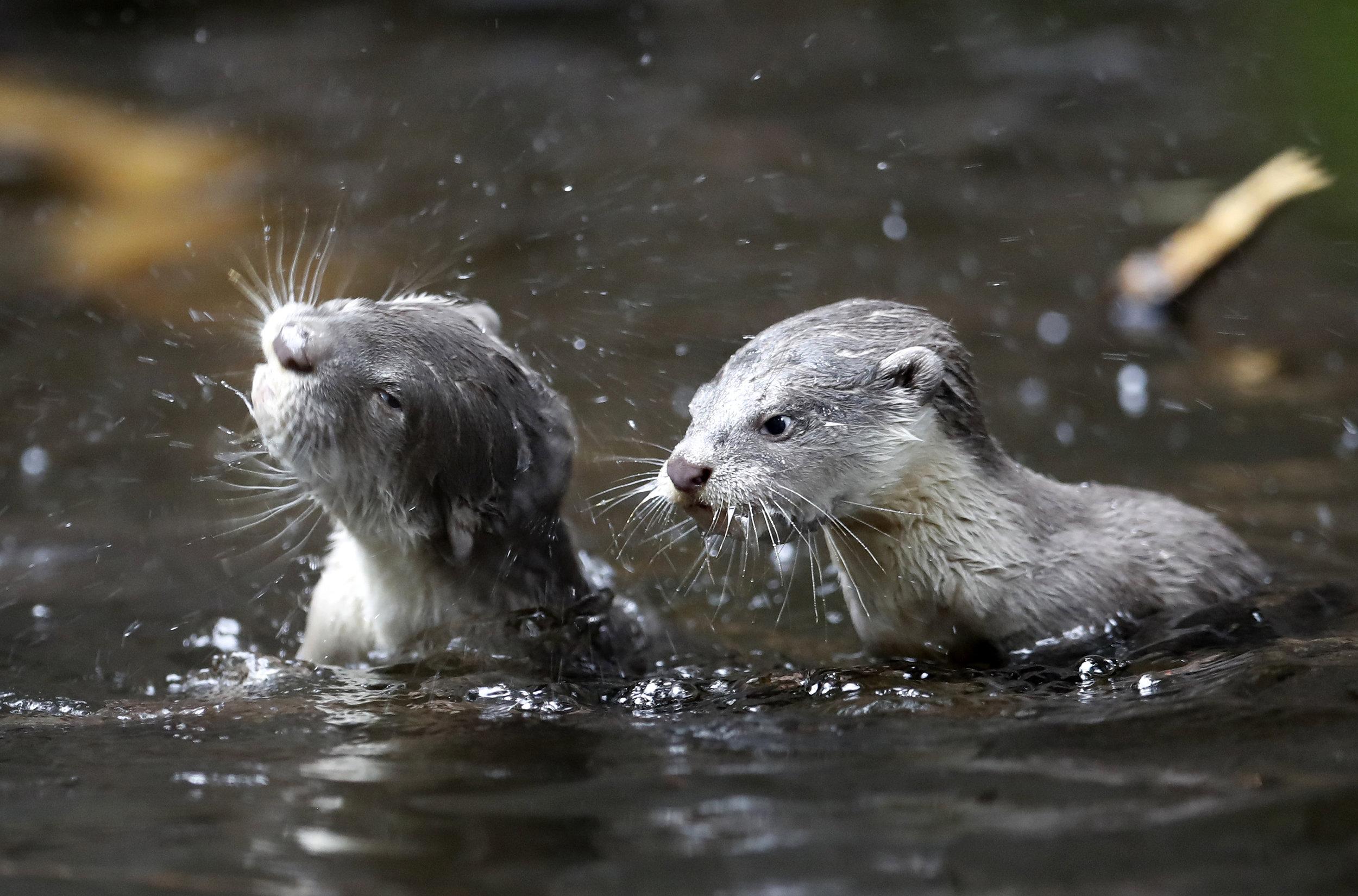 Czech Republic Baby Otters