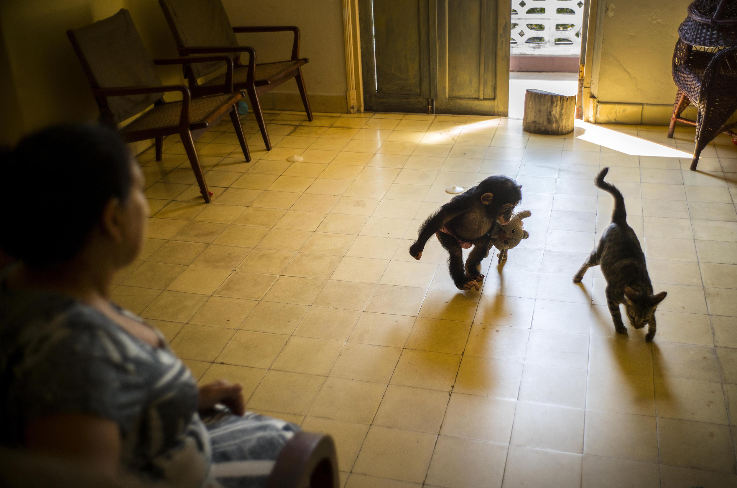 In this April 4, 2017 photo, zoologist Marta Llanes looks after baby chimpanzee Anuma II as she plays with the house cat Ty, at her apartment in Havana, Cuba. The floor is covered with toys, all sharp objects have been hidden away and the electric sockets covered to prevent a dangerous accidental shock. (AP Photo/Ramon Espinosa)