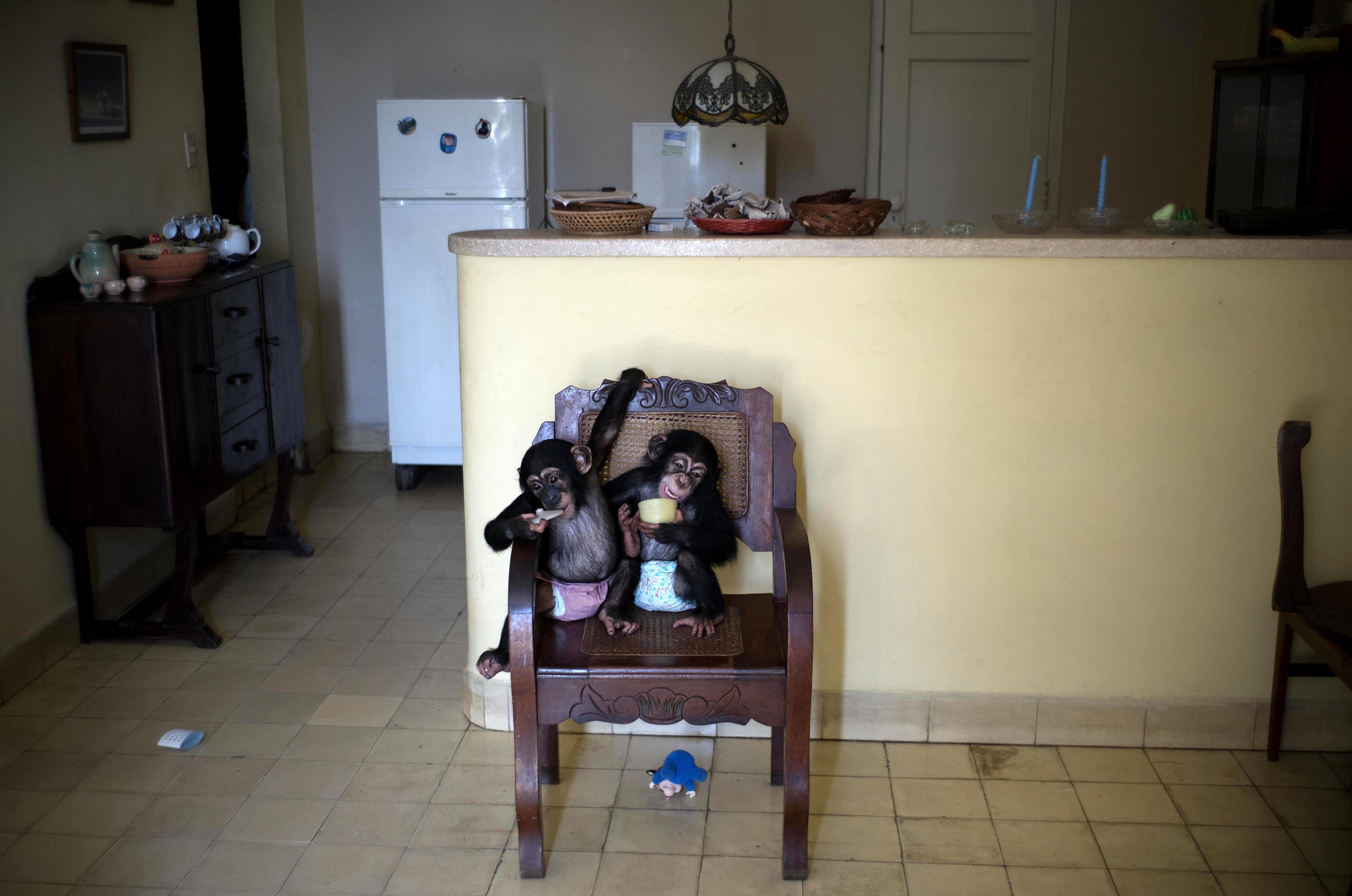 In this April 4, 2017 photo, baby chimpanzee Anuma II, left, and Ada rest in a chair at zoologist Marta Llanes' apartment in Havana, Cuba. Llanes' apartment looks like any that's home to two infants, albeit infants able to scramble up chairs, tables and virtually any other object with already-strong arms and legs and feet with opposable thumbs. (AP Photo/Ramon Espinosa)