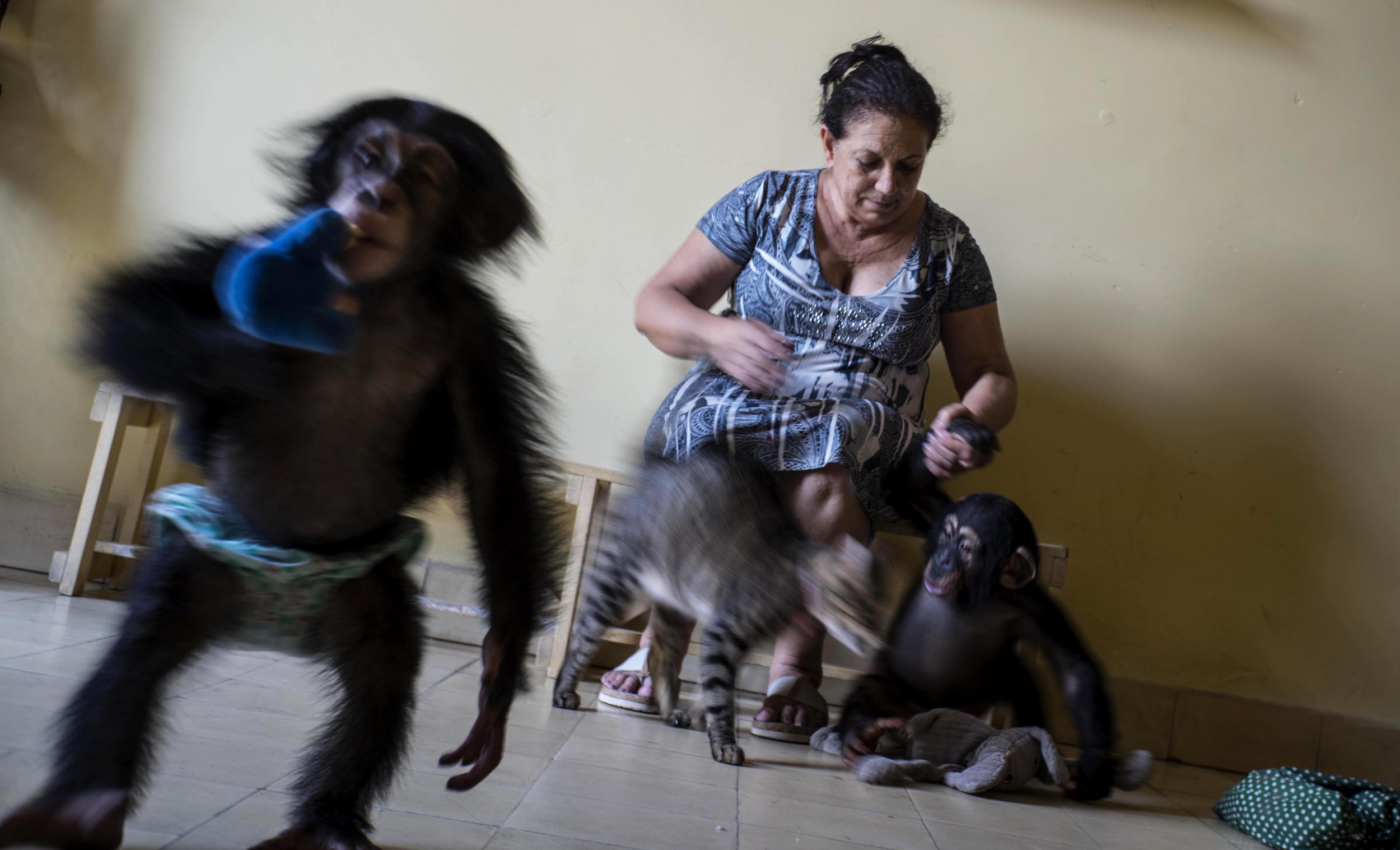 In this April 4, 2017 photo, zoologist Marta Llanes caresses baby chimpanzee Anuma II, right, while Ada plays, at Llanes' apartment in Havana, Cuba. She leaves her home a few hours each week when another zoologist delivers milk, fruit and cleaning products, and cares for the animals while Llanes takes a break. (AP Photo/Ramon Espinosa)