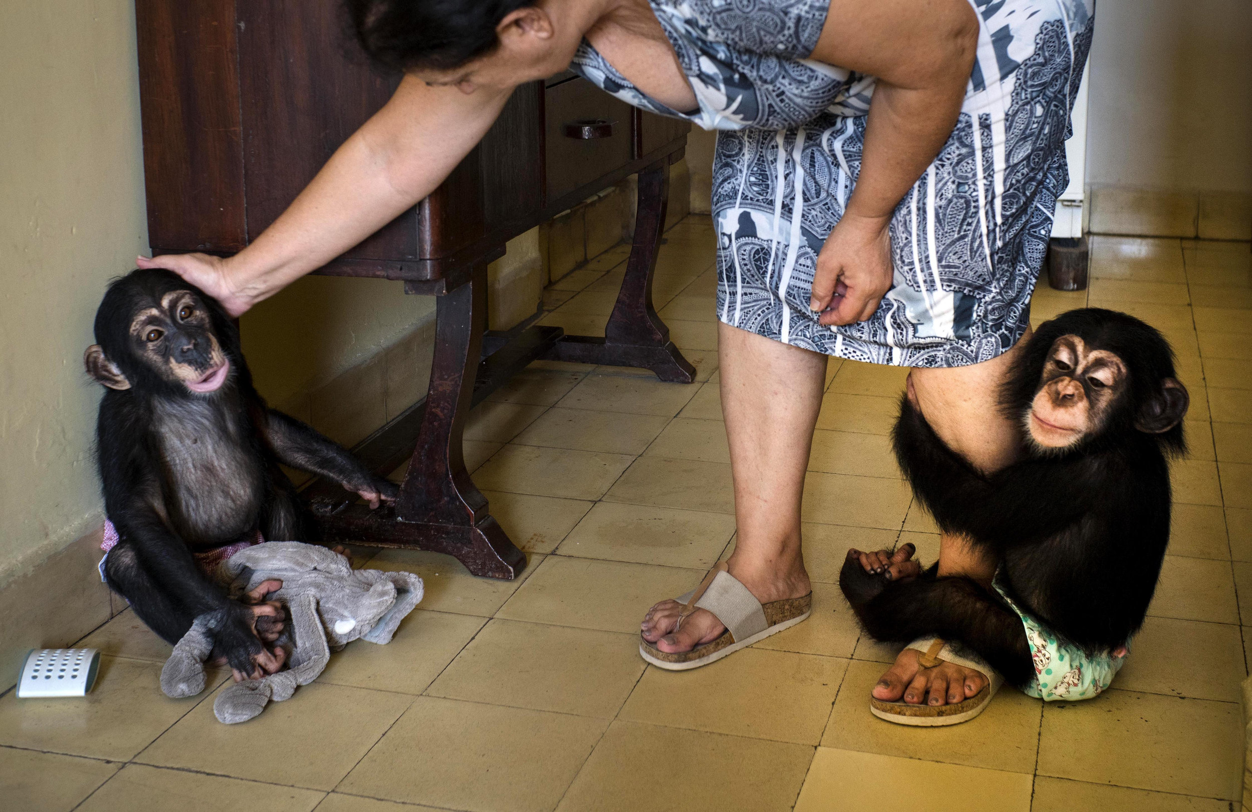 In this April 4, 2017 photo, Zoologist Marta Llanes caresses baby chimpanzee Anuma II, left, while Ada hangs on to her leg, at Llanes' apartment in Havana, Cuba. She has forgiven them every transgression. It's hard to stay angry at a baby chimpanzee when it clambers up your leg and into your arms and plants a kiss on your cheek in a plea for forgiveness. (AP Photo/Ramon Espinosa)