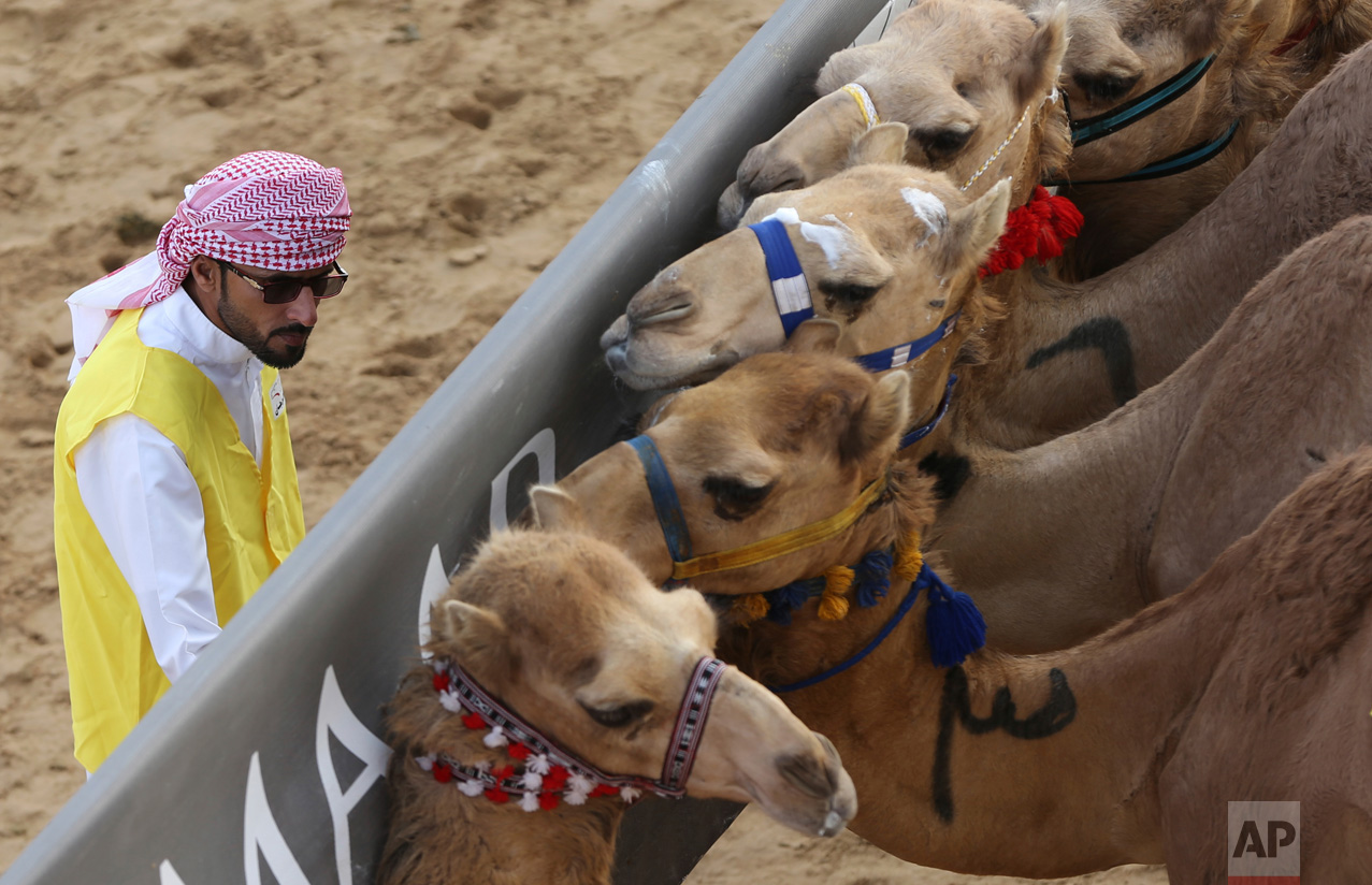 In this Saturday, April 8, 2017 photo, a marshal tries to control the camels behind the start barrier a few seconds ahead of a race at the Al Marmoom Camel Racetrack, in al-Lisaili about 40 km (25 miles) southeast of Dubai, United Arab Emirates. (AP Photo/Kamran Jebreili)