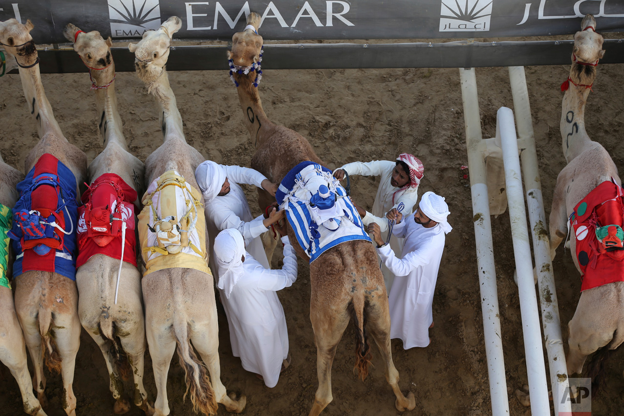 In this Friday, April 14, 2017 photo, camel keepers make final preparation of their camels before the start point of a race at the Al Marmoom Camel Racetrack, in al-Lisaili about 40 km (25 miles) southeast of Dubai, United Arab Emirates. (AP Photo/Kamran Jebreili)