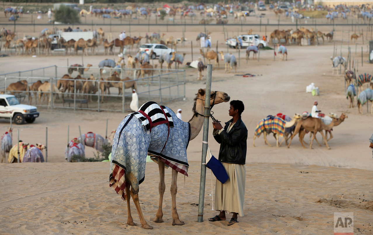 In this Saturday, April 8, 2017 photo, a camel keeper prepares a camel for the morning race near the Al Marmoom Camel Racetrack, in al-Lisaili about 40 km (25 miles) southeast of Dubai, United Arab Emirates. (AP Photo/Kamran Jebreili)