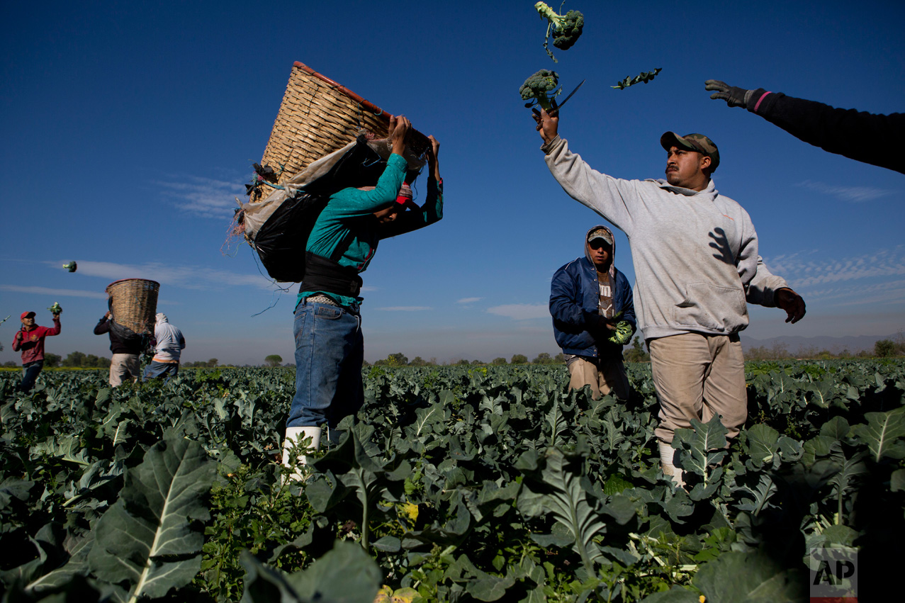 """In this April 1, 2017 photo, day laborers harvest broccoli grown with wastewater, near Mixquiahuala, Hidalgo state, Mexico. Farmers in the Mezquital Valley use untreated sewage from Mexico City to water and fertilizer their crops. """"Our life comes from these waters. It is the sustenance,"""" says farmer Don Justino Lopez of Tepatepec. (AP Photo/Rebecca Blackwell)"""