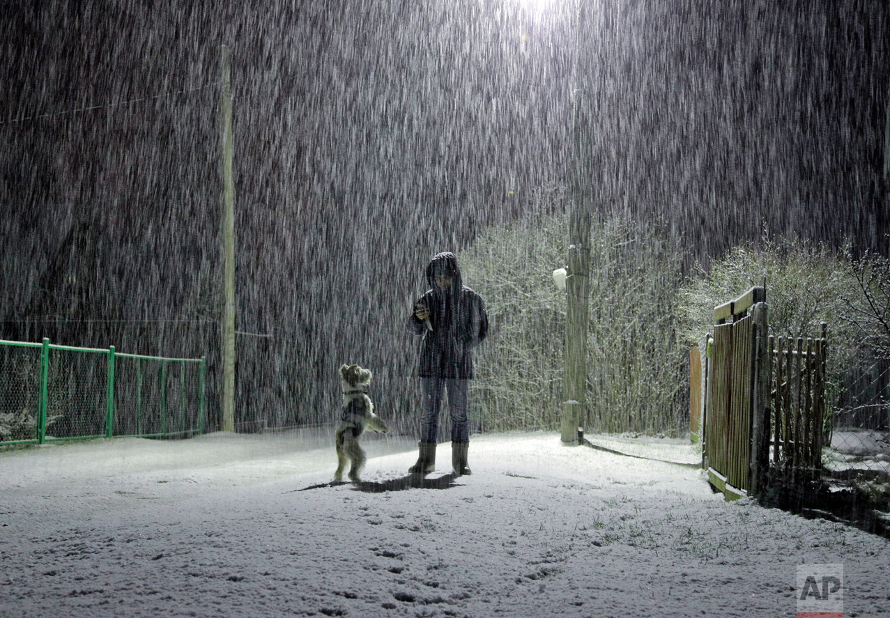 Snow falls as a woman walks her dog in the village of Podolye, 70 kilometers (43 miles) east of St. Petersburg, Russia, early Thursday, May 11, 2017. North winds brought snow to the east of the St. Petersburg region. (AP Photo/Dmitri Lovetsky)