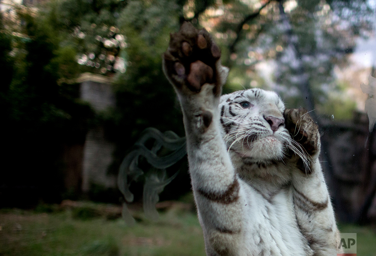 In this July 15, 2016 photo, Cleo, a female white tiger, jumps on the safety glass of her enclosure reacting to painters working on an improvement project, at the former city zoo now known as Eco Parque, in Buenos Aires, Argentina. In its beginnings, the zoo was inspired on Victorian zoos that exhibited exotic animals. (AP Photo/Natacha Pisarenko)