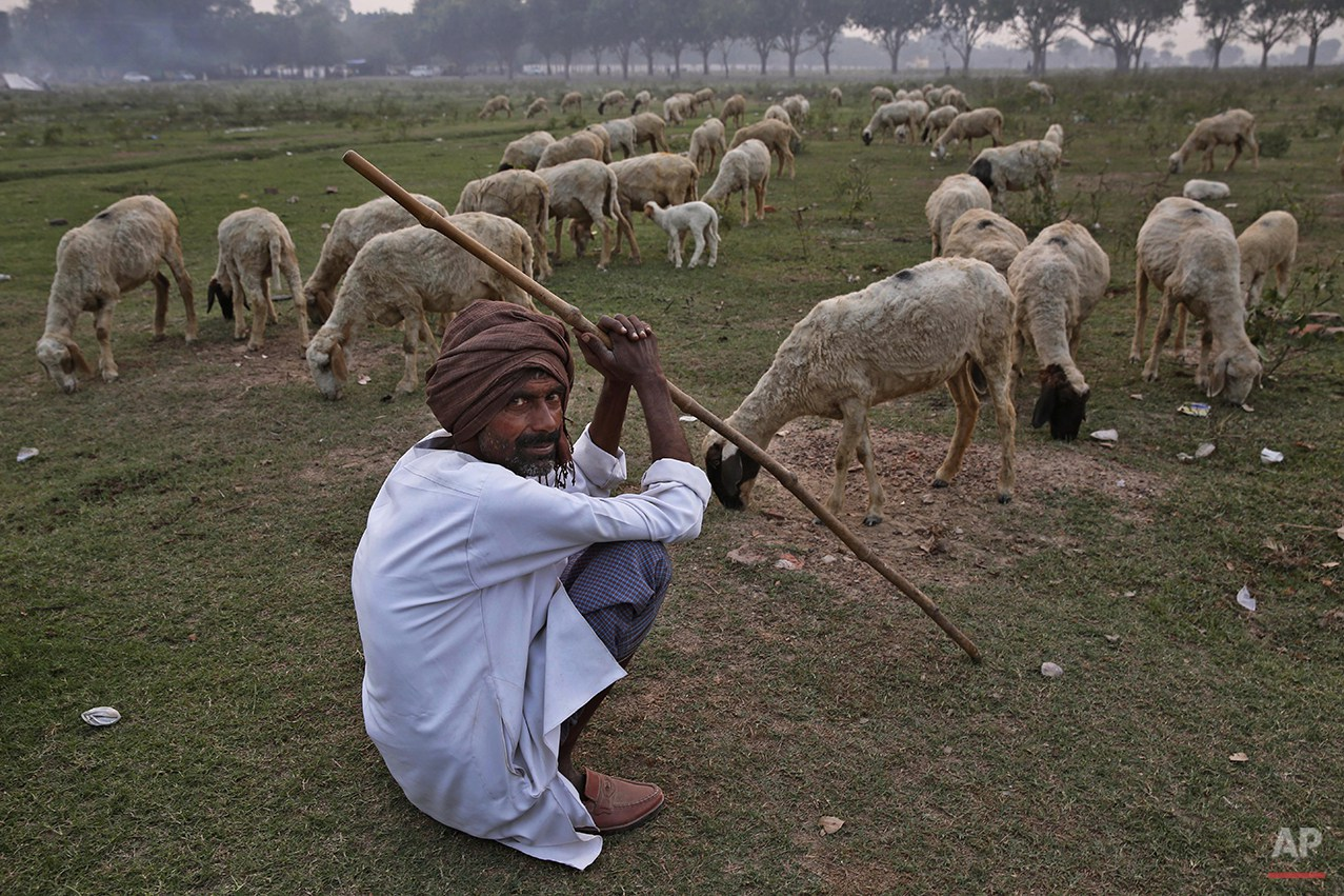 An Indian shepherd looks at camera as his sheep graze in a field in Allahabad, India, Monday, Oct. 27, 2014. (AP Photo/ Rajesh Kumar Singh)