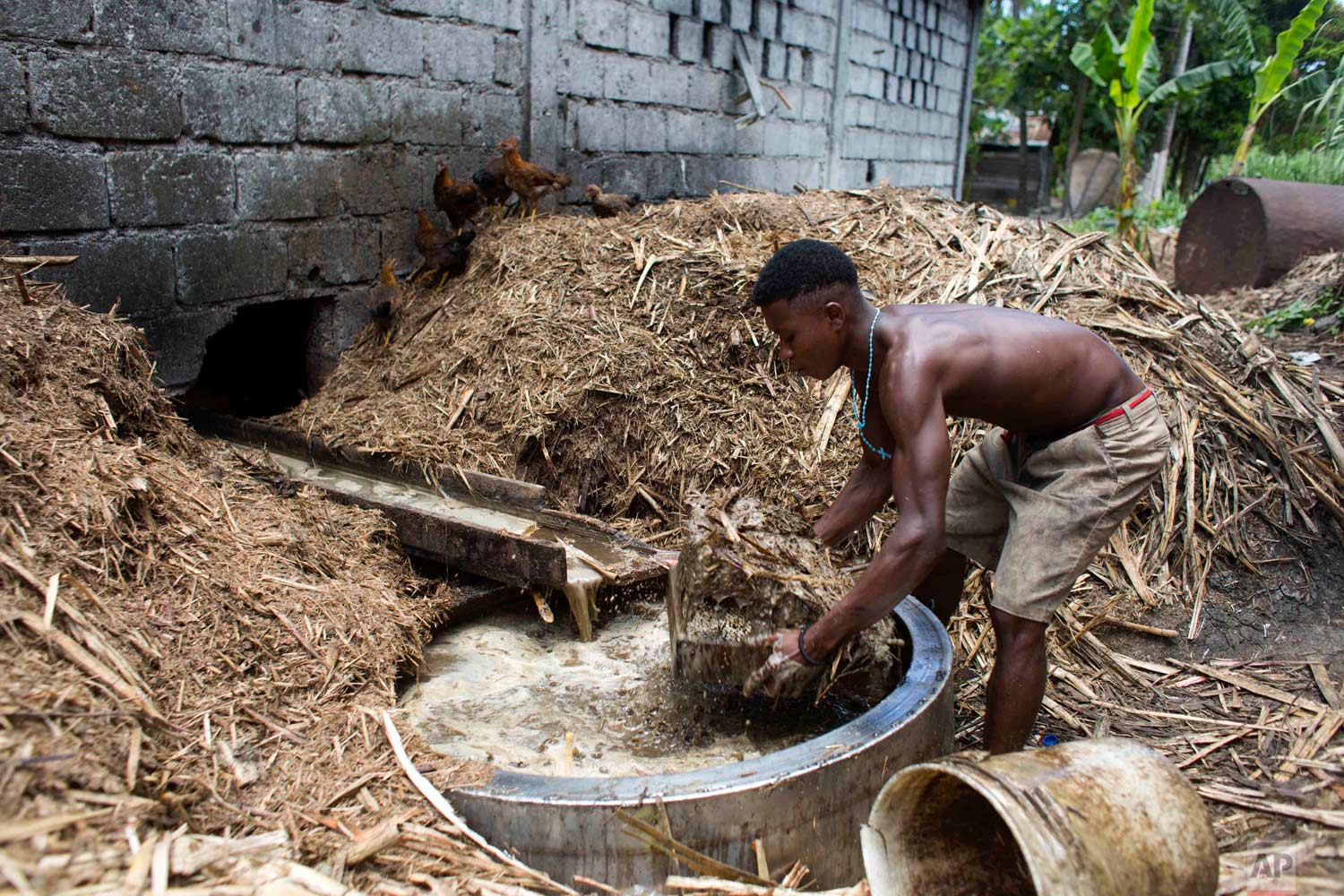 In this June 19, 2017 photo, Gabriel Shnaider, 22, removes bagasse, the leftover fiber after pressing juice from sugar cane, at the Ti Jean distillery which produces clairin, a sugar-based alcoholic drink, in Leogane, Haiti. The bagasse is later used to feed the fire that will cook the fermented juice. (AP Photo/Dieu Nalio Chery)