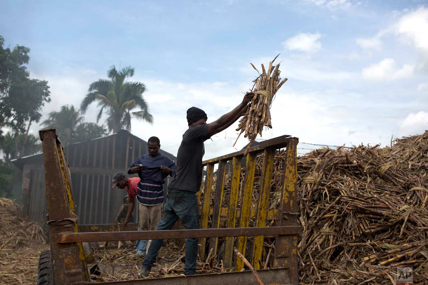 In this June 16, 2017 photo, workers unload sugar cane at the Ti Jean distillery, which produces clairin, a sugar-based alcoholic drink in Leogane, Haiti. Workers said that they earn a salary of 800 gourds, or $12.50 dollars, for each truck they fill with cane and that they manage to fill one truck in two days. (AP Photo/Dieu Nalio Chery)