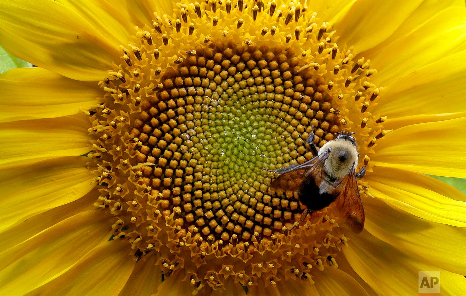 A bumblebee gathers nectar from a sunflower in rural Orange County near Hillsborough, N.C., Tuesday, June 27, 2017. (AP Photo/Gerry Broome)