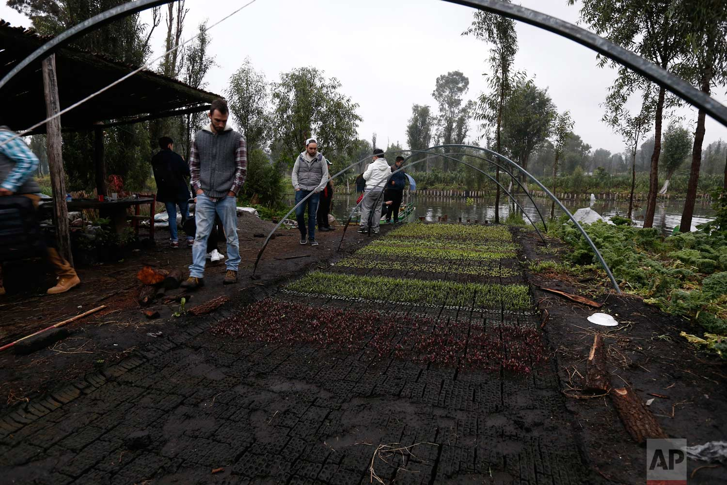 "In this July 13, 2017 photo, chefs and restaurant employees walk through a vegetable garden on a floating farm known as a ""chinampa"" in Xochimilco, Mexico City. (AP Photo/Marco Ugarte)"