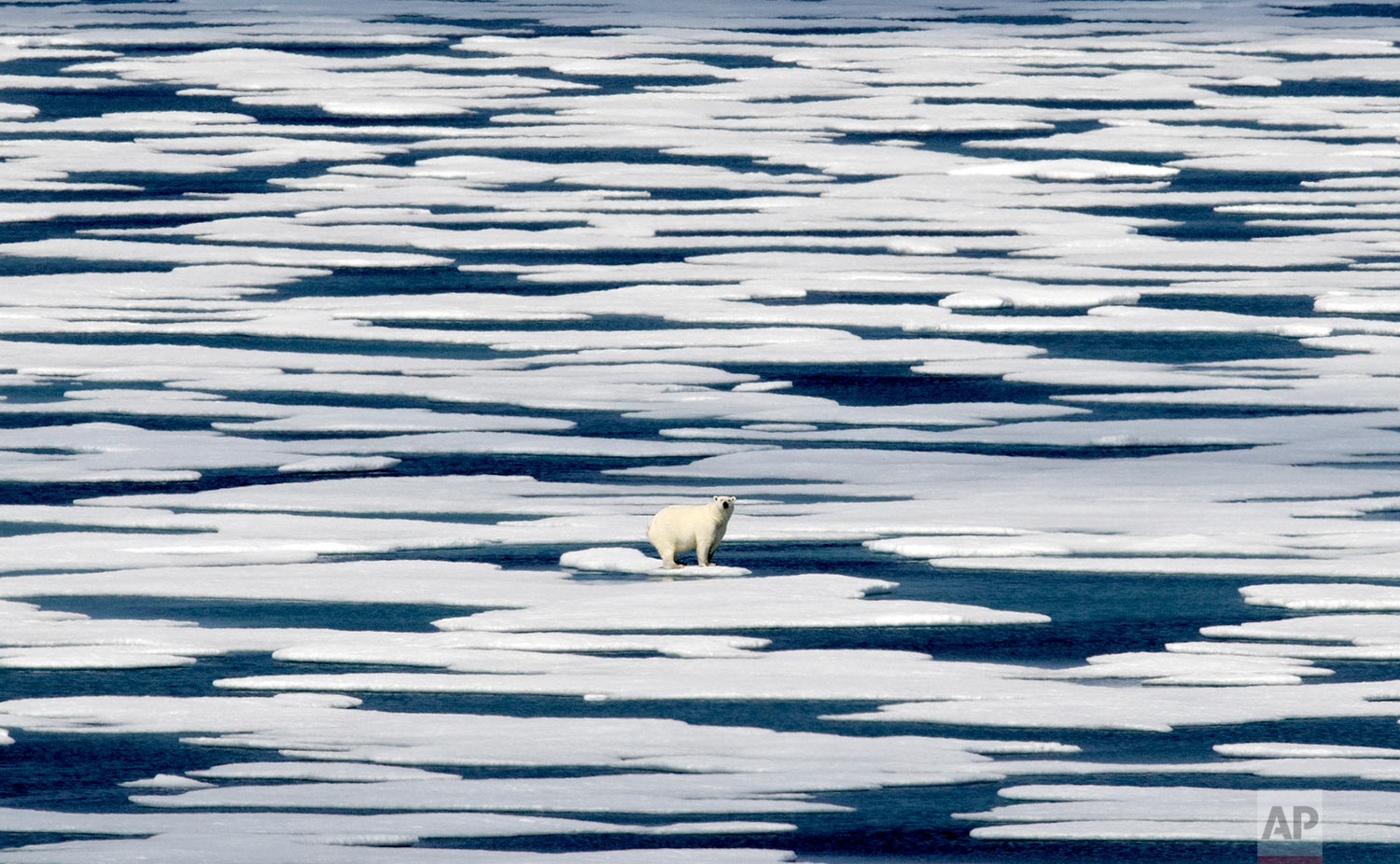 A polar bear stands on the ice in the Franklin Strait in the Canadian Arctic Archipelago, Saturday, July 22, 2017. While some polar bears are expected to follow the retreating ice northward, others will head south, where they will come into greater contact with humans, encounters that are unlikely to end well for the bears. (AP Photo/David Goldman)