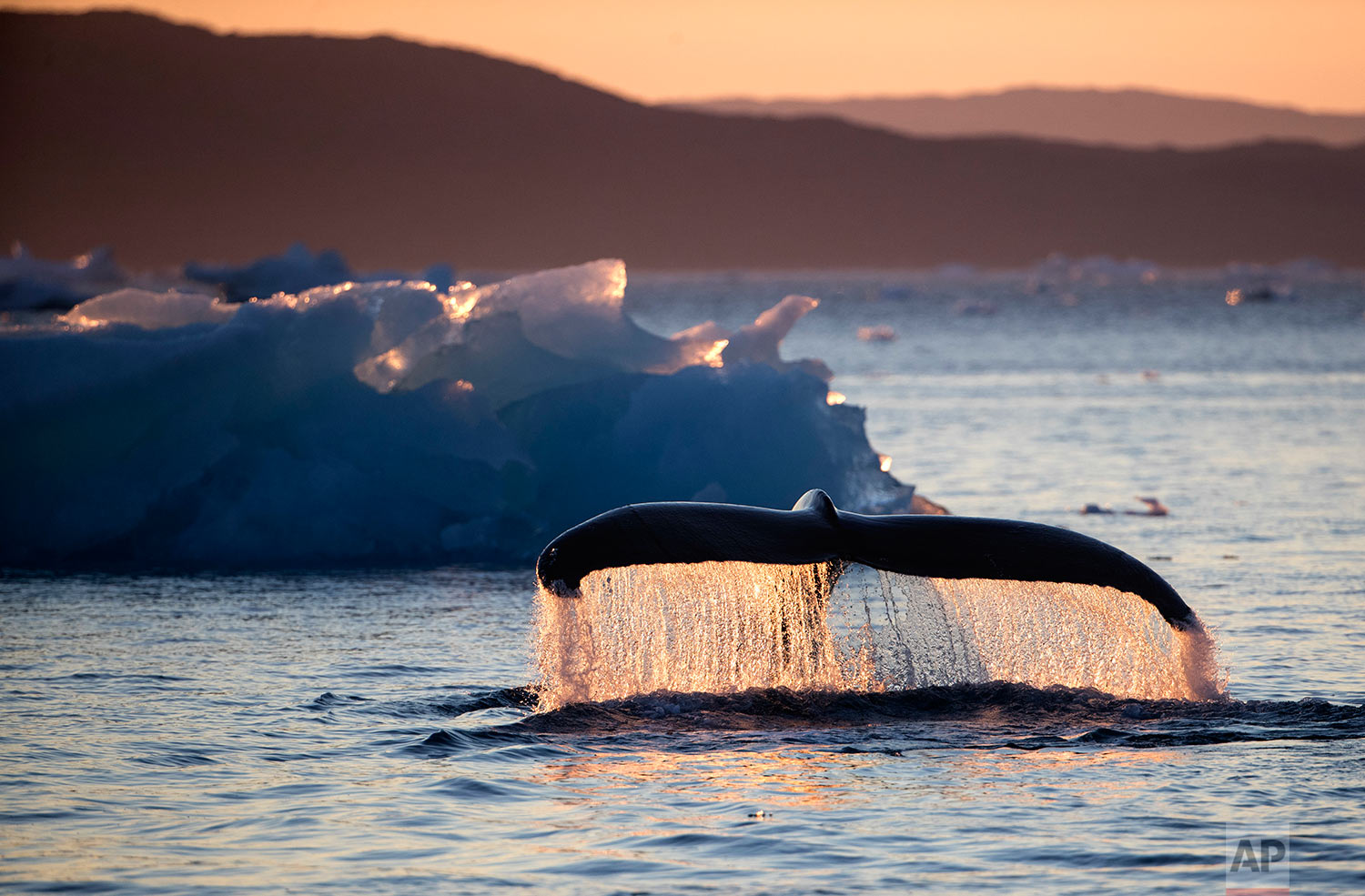"""A humpback whale dives while swimming in the Nuup Kangerlua Fjord near Nuuk in southwestern Greenland, Tuesday, Aug. 1, 2017. People are so far removed from the Arctic that they don't understand it, they don't know it and they don't love it,"""" said Paula von Weller, a field biologist. """"I think it's important for people to see what's here and to fall in love with it and have a bond and want to protect it."""" (AP Photo/David Goldman)"""